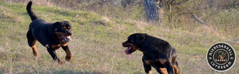 canisa rottweiler miereschhall intracom